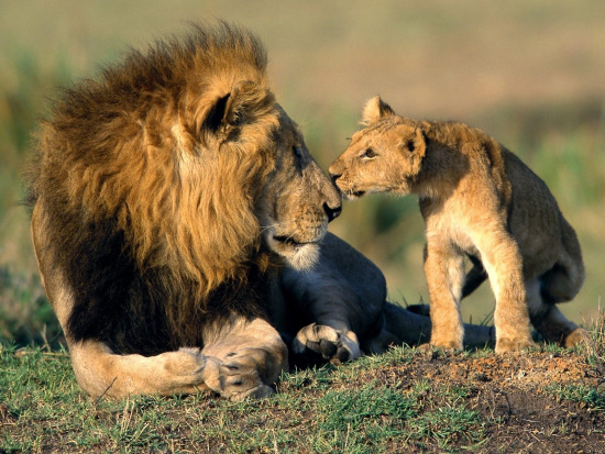 lion-father-and-child