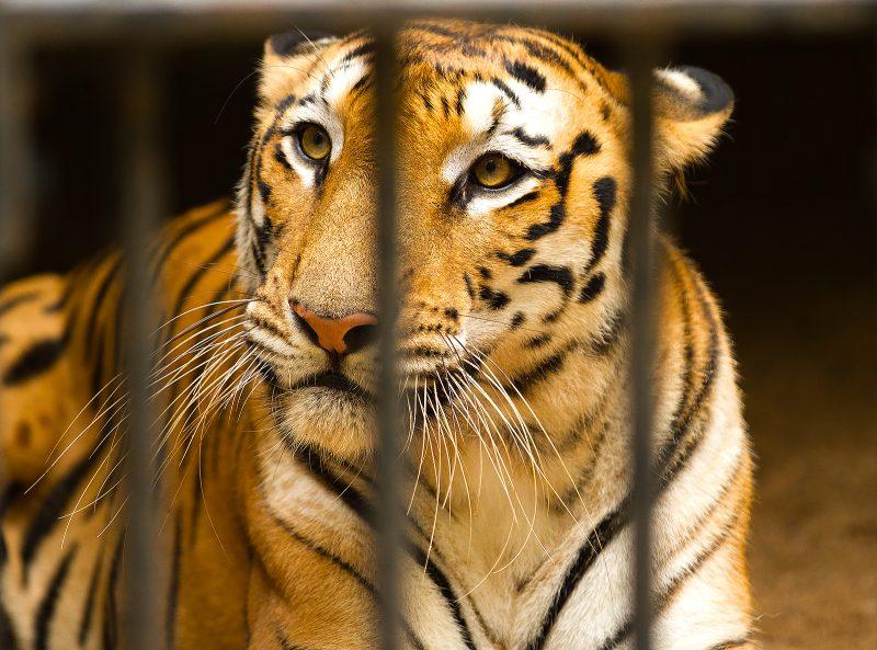 tiger-caged