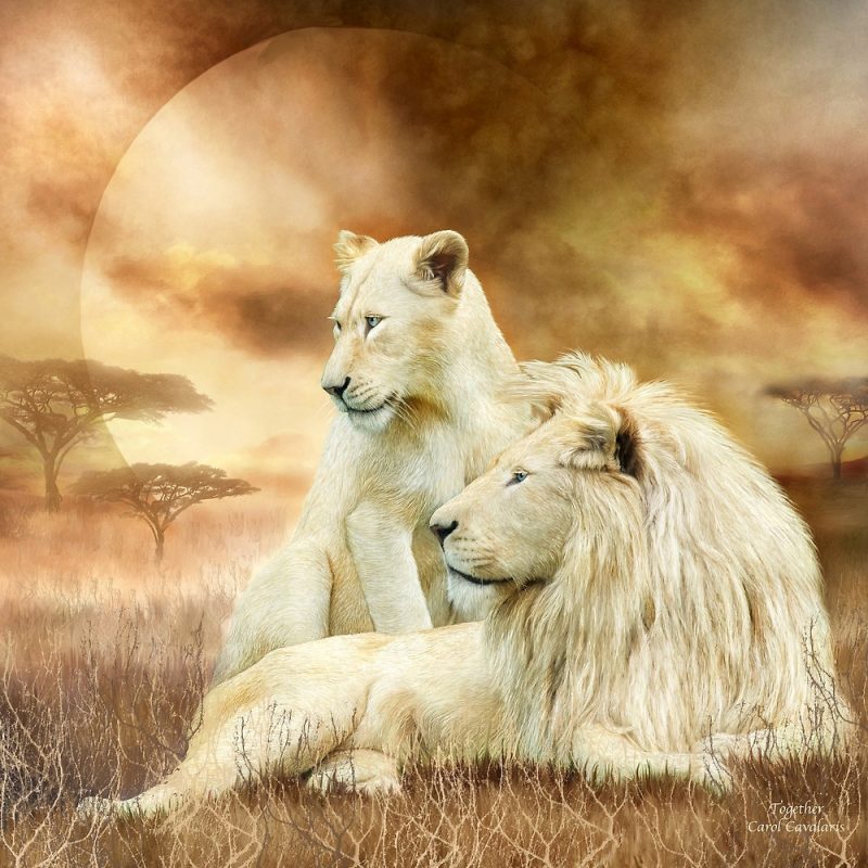 Image of male and female white lions